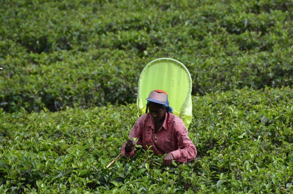 Mujer trabajando en campos de te, Sri Lanka