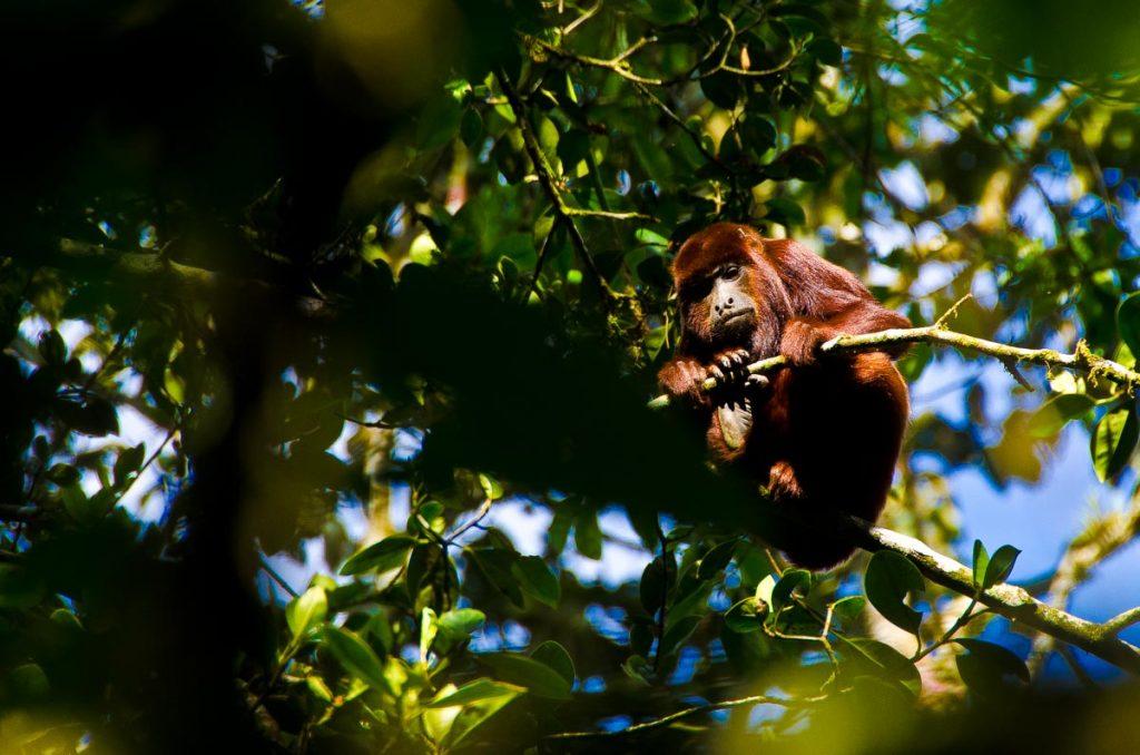 Monos aulladores en Salento, Colombia
